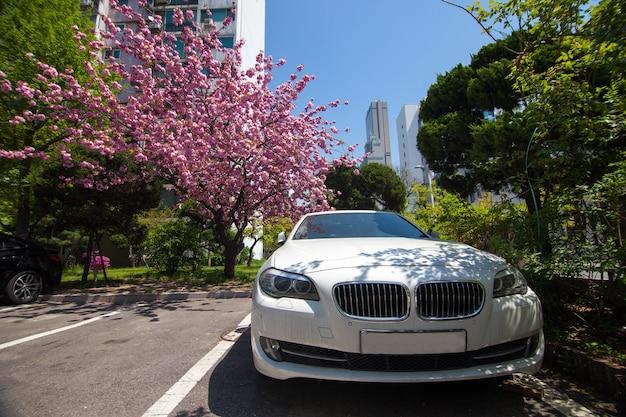 Белая машина на стоянке под цветущей розой сакурой