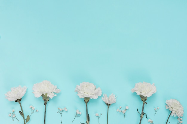 White carnation flowers on blue table