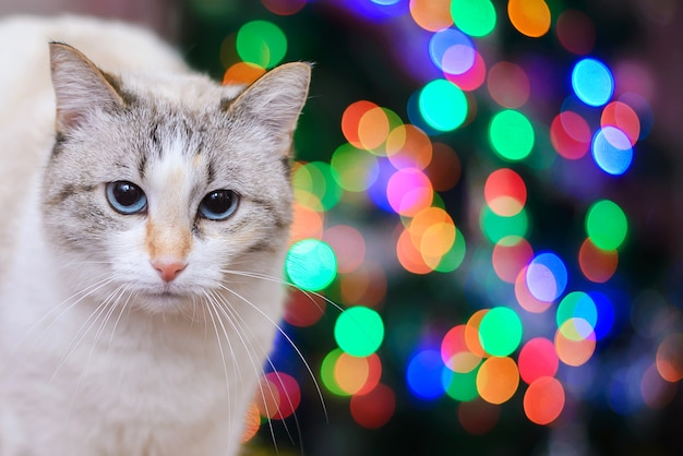 White cat on a background of colorful lights closeup