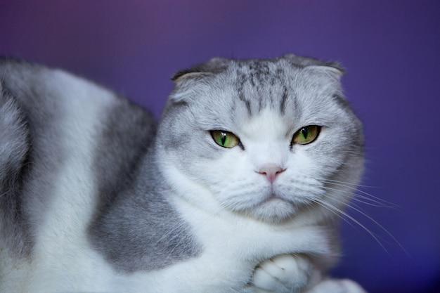 Белая кошка британская вислоухая шотландская короткошерстная кошка на синем фоне. белая кошка британская вислоухая