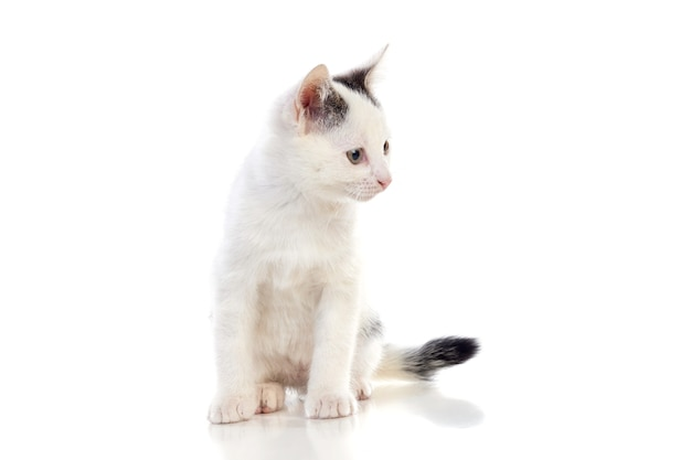 White cat isolated