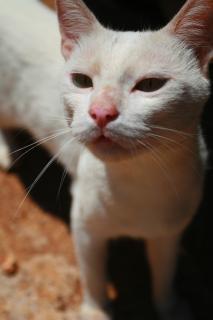 White cat, kitty