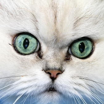 White cat muzzle closeup, looking to the camera