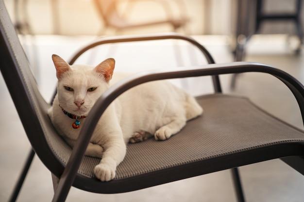 白猫が椅子に座っています。
