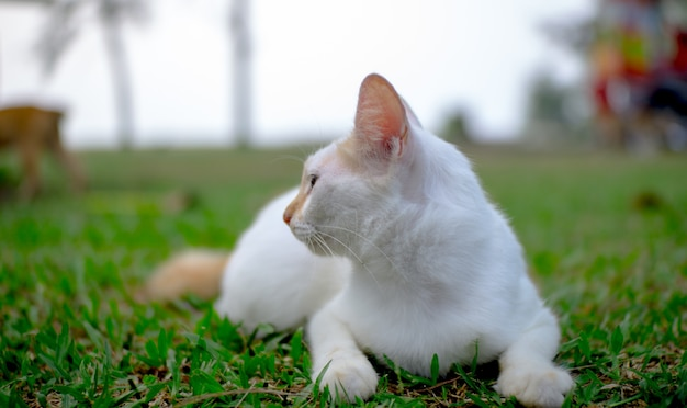 A white cat stands gracefully on the lawn.