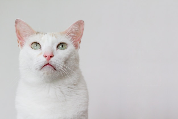 The white cat stared at something above
