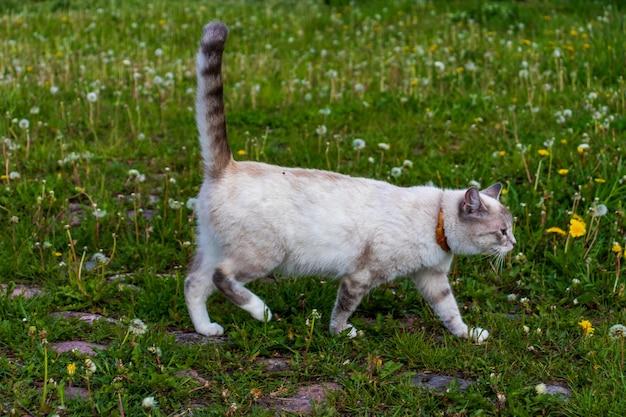 Белая кошка гуляет в поле травы желтых цветов под солнцем