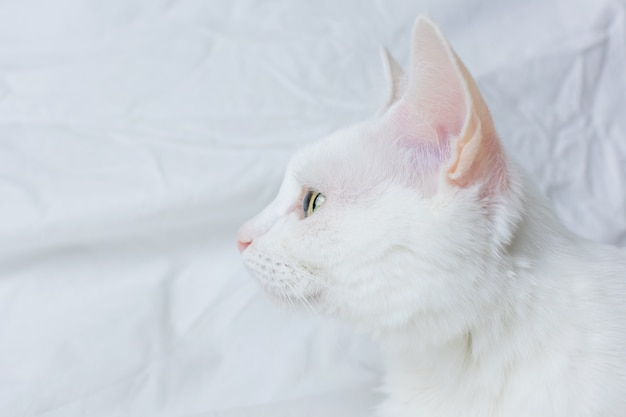White cat on a white sheet. concept of pets, comfort, caring for animals, keeping cats in the house.