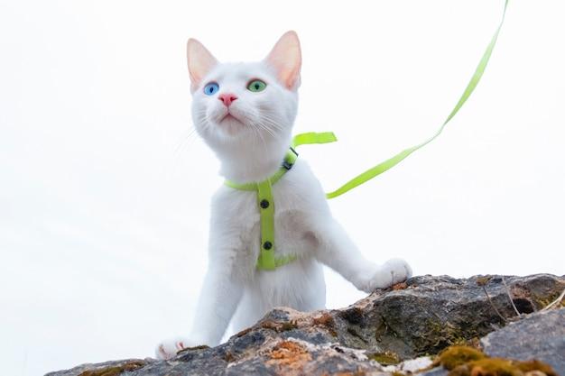 Белая кошка с голубыми и зелеными глазами, стоящая на камне со шлейкой и поводком, на белом фоне.