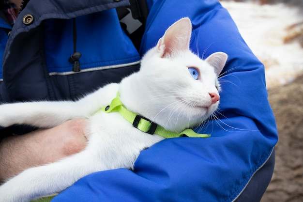 파란 눈과 파란 재킷 인간의 손에 녹색 고리와 흰 고양이.