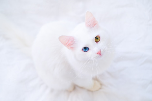 White cat with different color eyes looking up at camera on white bed. turkish angora with blue and green eye. adorable domestic pets, heterochromia