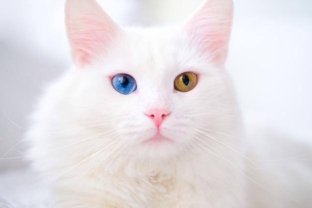 다른 색 눈을 가진 흰 고양이입니다. 터키 앙고라. 파란과 녹색 눈을 가진 반 고양이 흰 침대에 놓여 있습니다. 사랑스러운 애완 동물, 이색 증
