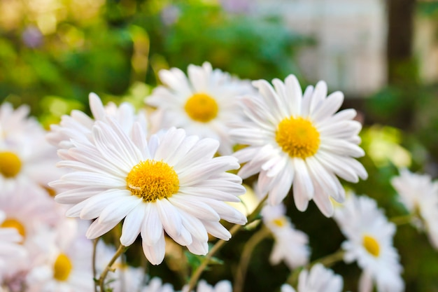 White chamomile chrysanthemum flowers closeup