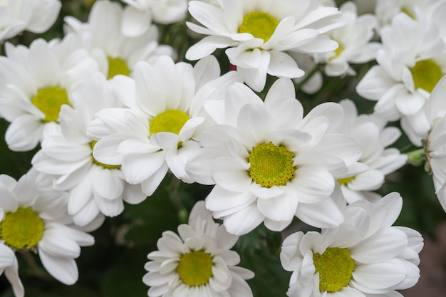 White chamomile chrysanthemums.