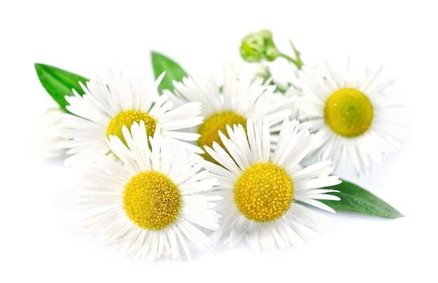 白い背景に分離された葉を持つ白いカモミールの花