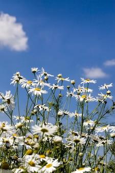 Белая ромашка растет в дикой природе