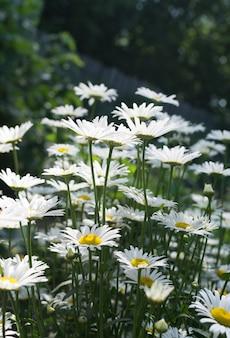 여름 정원에서 흰색 카모마일 선택적 초점을 닫습니다. 녹색 배경 흐리게에 chamomiles의 매크로 사진