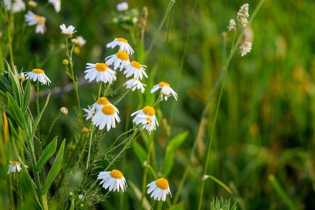 Белая ромашка в поле среди зеленой травы
