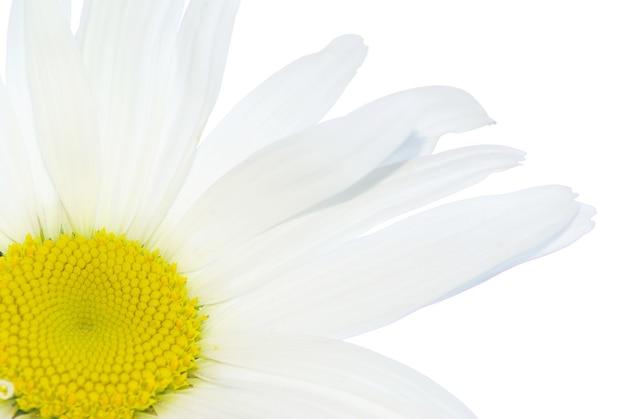 Белая ромашка, изолированные на белом фоне