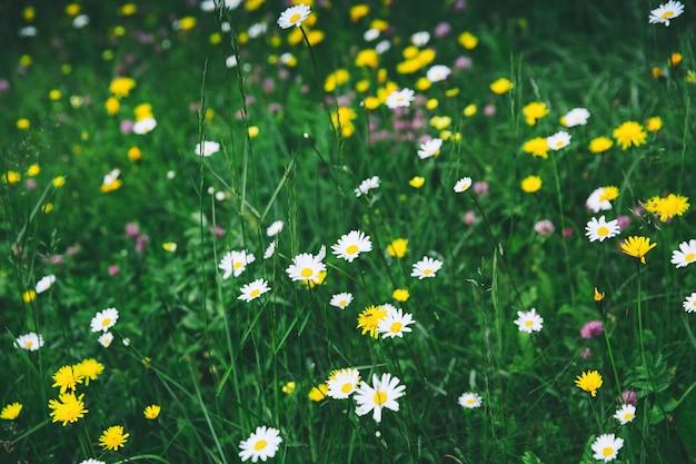 흰색 카모마일 보라색 클로버 노란색 머위는 산의 들판에 야생 꽃을 피운다