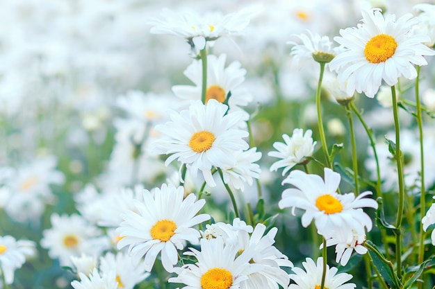 白いカモミールが咲く、夏の花の背景