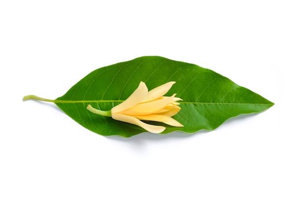 白いチャンパカの花と緑の葉
