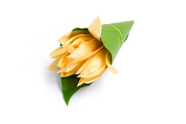 円錐形の緑の葉の白いchampaka花。