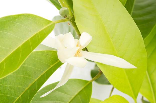 White champaka on the tree are blooming.