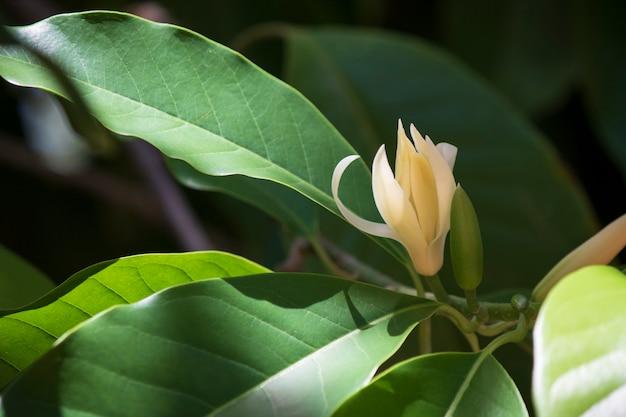 White champaka tree and green leaf