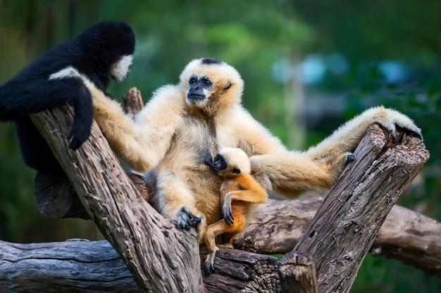 아기를 낳는 가족과 함께 흰 뺨 긴팔 원숭이 또는 lar 긴팔 원숭이가 모유를 먹습니다.