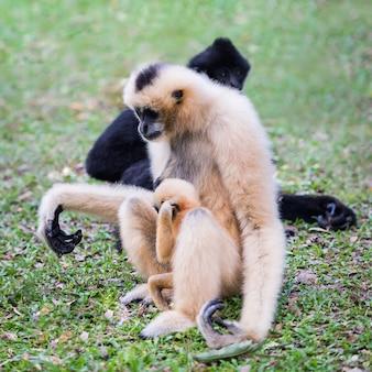 흰 뺨 긴팔 원숭이 또는 lar 긴팔 원숭이