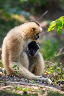 하얀 뺨 긴팔 원숭이. 야생 동물.