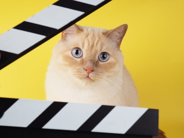 White cheerful cat looks through clapperboard on a yellow background.
