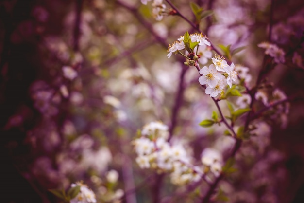 White cherry blooming trees retro