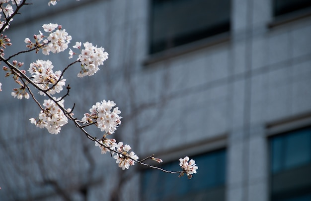 White cherry blossom sakura tree with blur office