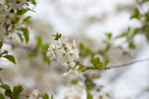 Белые вишни, цветущие вишневые цветы весной, с зелеными листьями и копией пространства c ...