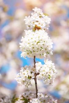 青い空と柔らかいボケ味を持つ春の太陽の白い桜。