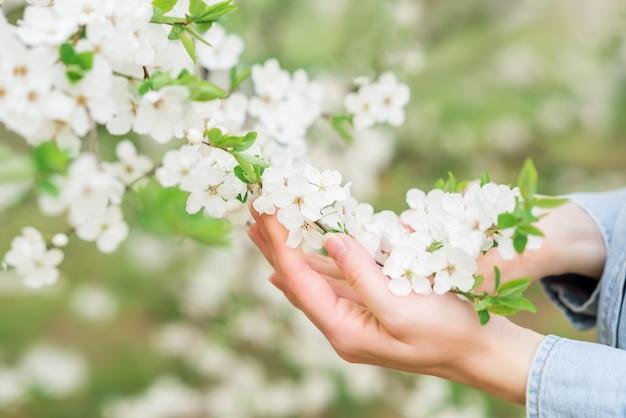 手のクローズアップの白い桜の花。