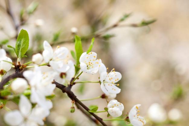 春、顕花植物の間に白い桜の花。被写界深度が浅い写真のクローズアップ。
