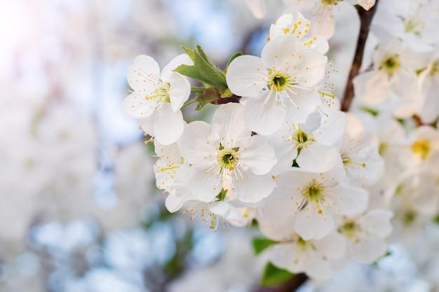 White cherry flowers on a light