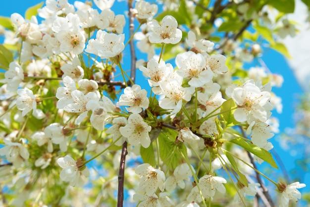 青い空を背景に白い桜の花