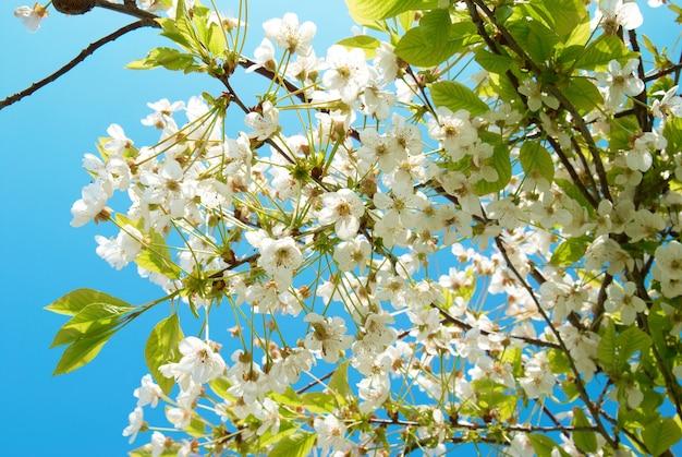 푸른 하늘과 하얀 벚꽃 꽃