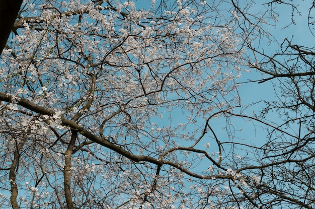 White cherry tree flowers in spring garden over blue sky background