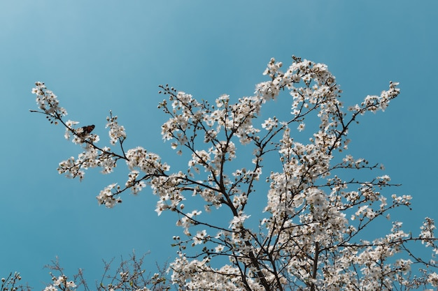 White cherry tree flowers in spring garden over sky background