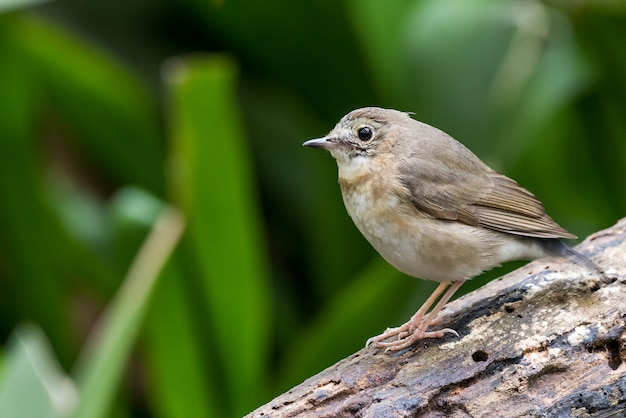 White-chested babbler perched and posing