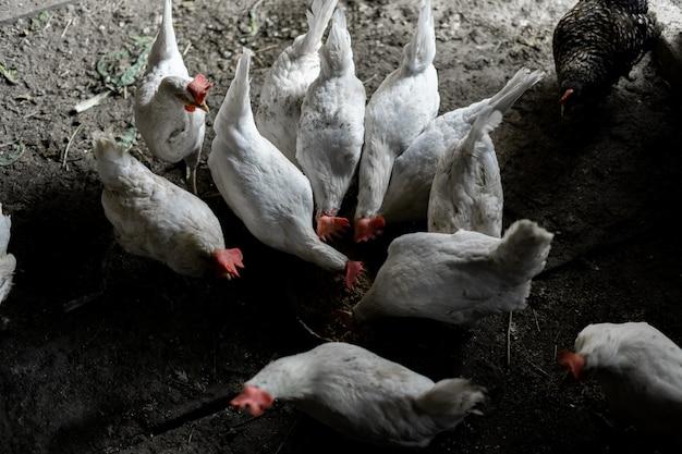 Белых цыплят едят из миски. вид сверху. стая кур побежала кормиться. куриная усадьба