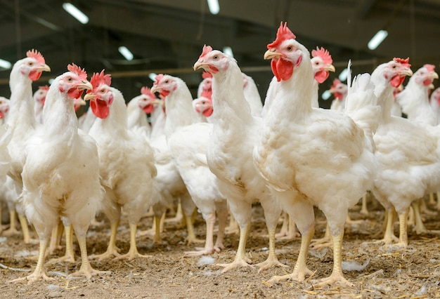 흰 닭 농장