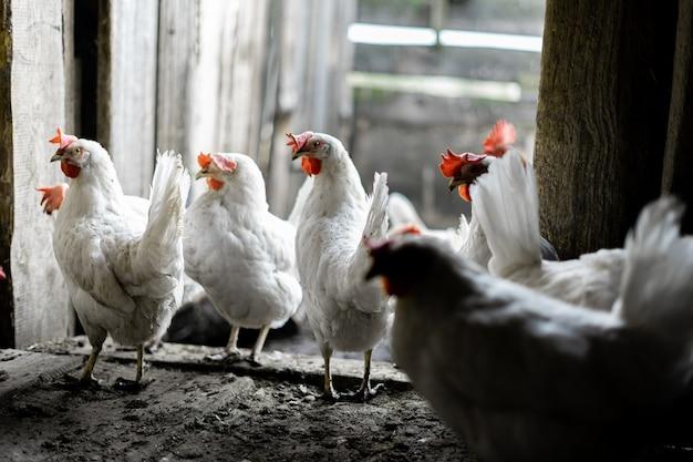 Белые куры во дворе. птицеводство. цыплята в деревне стоят у входа в курятник.