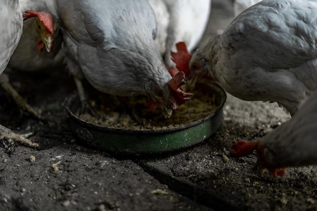 赤い房のある白い鶏は、ボウルから穀物を食べます。村の鶏。家で鶏を飼育し、給餌する