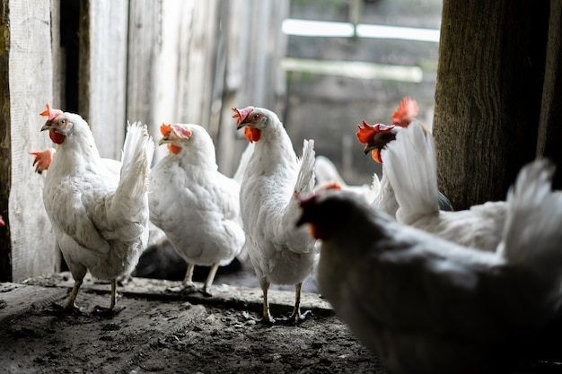 White chickens in the yard. poultry farming. chickens in the village stand at the entrance to the chicken coop.